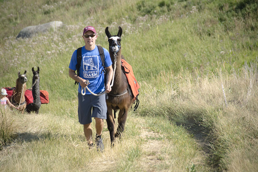 Llama being led on trail