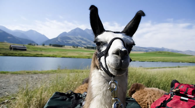 llama close up