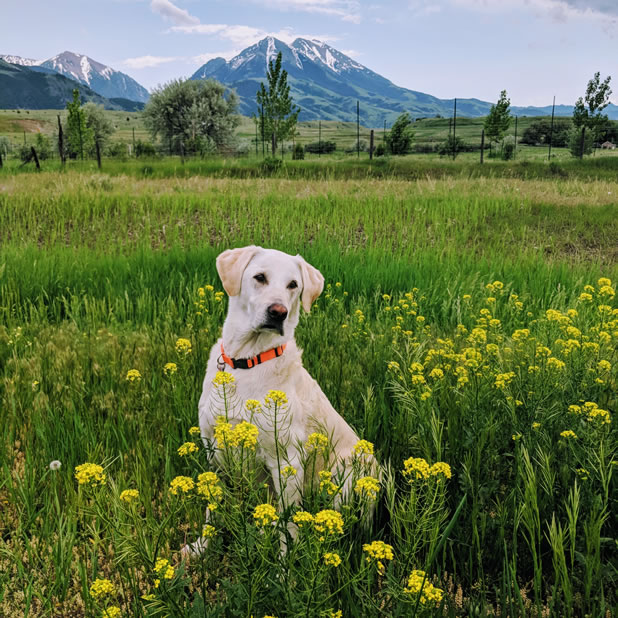 dog in a flower meadow