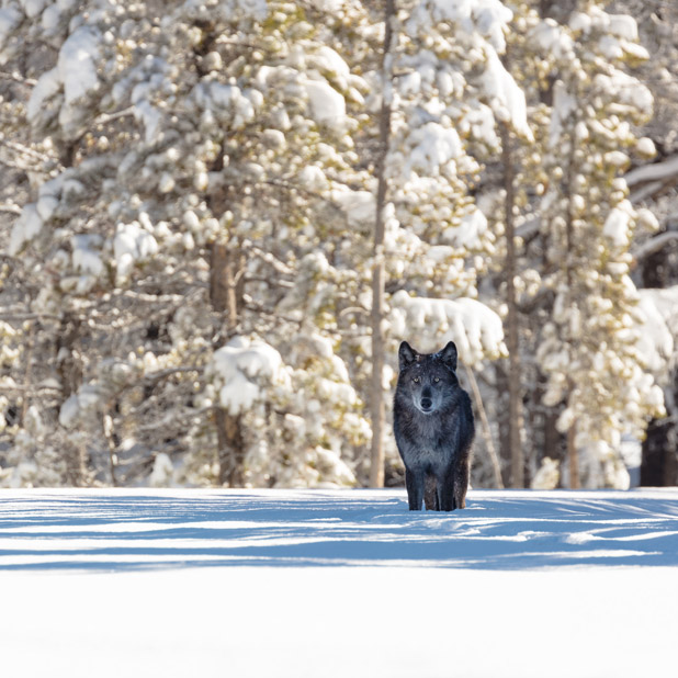 Wolf at edge of woods
